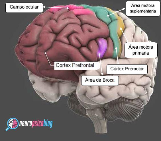 Neuroanatomia del lóbulo frontal